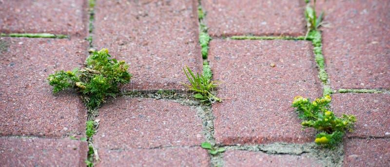 Hierba que crece a través de piedras de pavimentación rectangulares rojas fotos de archivo