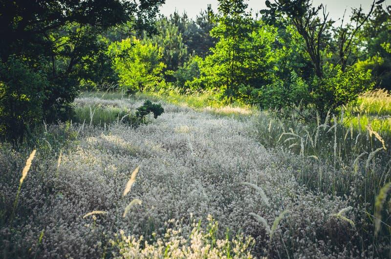 Hierba salvaje beige ligera en el primero plano y árboles verdes en el fondo Fondo suave para el diseño con el lugar para el text fotografía de archivo