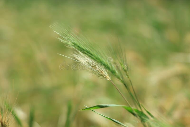 Hierba salvaje con las espiguillas que balancean suavemente en el viento, cebadas de pared Hierba verde con los o?dos de oro y mu fotos de archivo