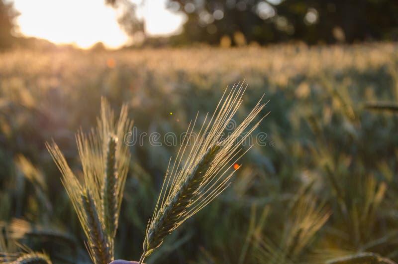 Hierba salvaje con las espiguillas que balancean suavemente en el viento, plantas del verano Hierba verde con los o?dos de oro y  imagen de archivo libre de regalías