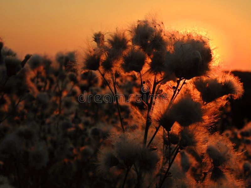 Hierba salvaje en la puesta del sol imagen de archivo
