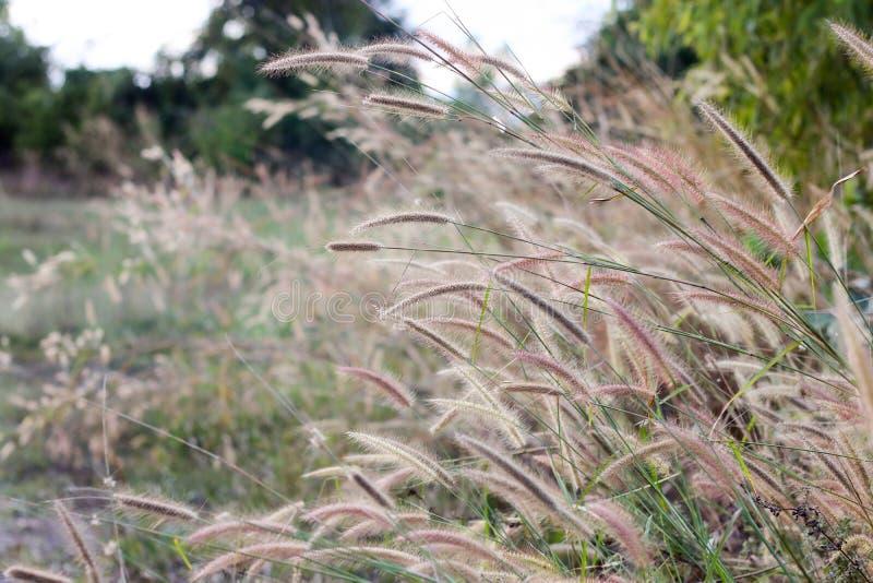 Hierba salvaje marrón larga que sopla en el viento imagenes de archivo