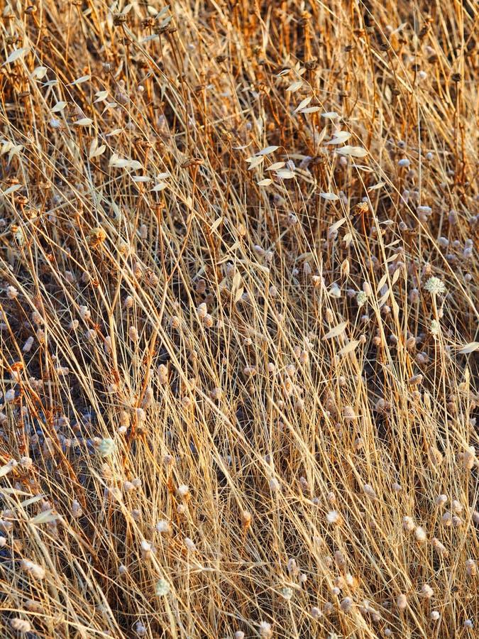 Hierba salvaje seca del verano, modelo complejo fotografía de archivo