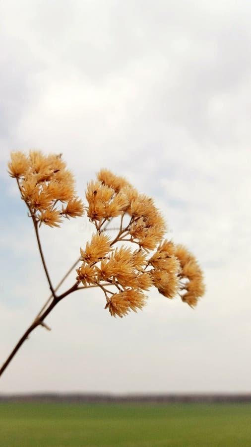 Hierba seca contra el campo y el cielo fotos de archivo libres de regalías