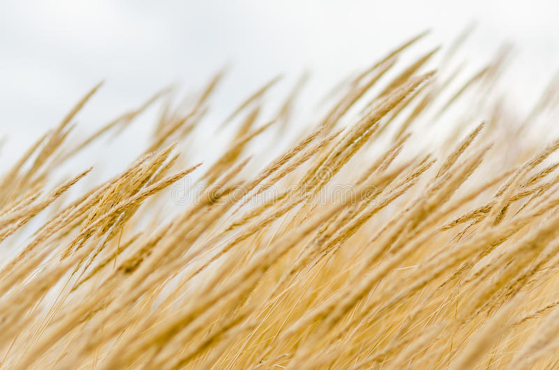 Hierba seca del poaceae foto de archivo libre de regalías