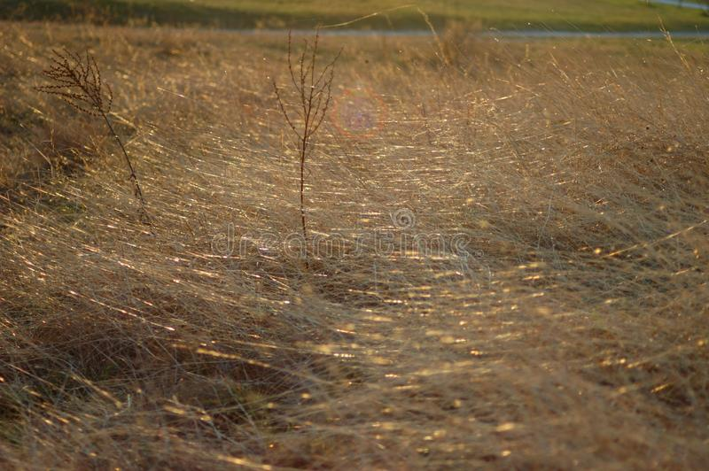 Hierba seca en la puesta del sol imagen de archivo libre de regalías