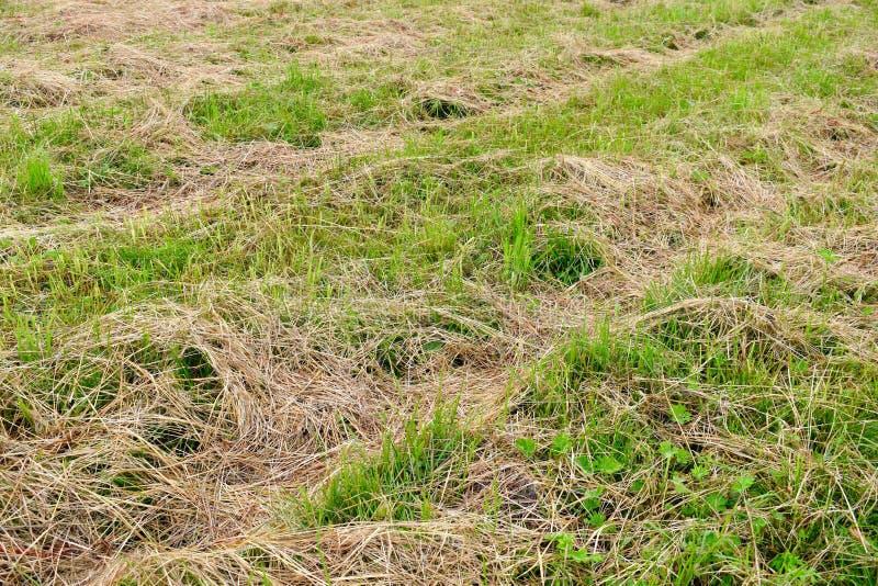 Hierba seca segada para el ganado Preparación del heno para un forraje a las vacas y a los caballos fotos de archivo libres de regalías