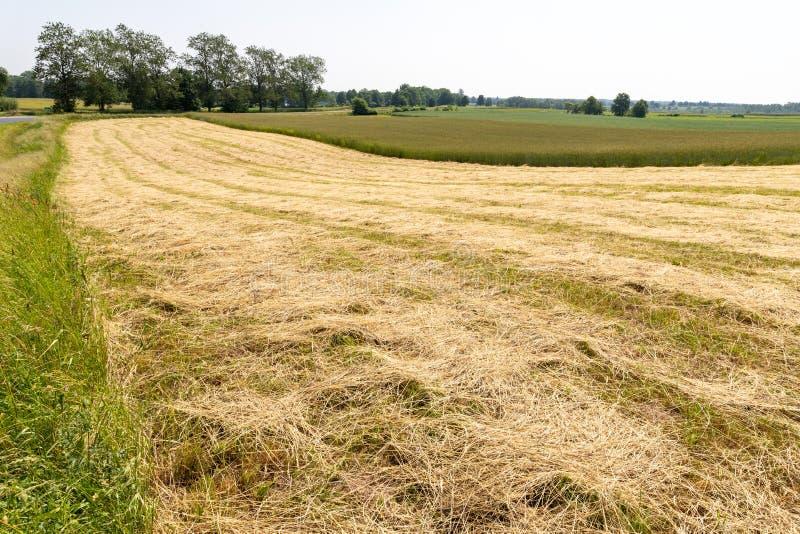 Hierba segada en el farmer' campo de s Haymaking en un pequeño campo en el campo fotos de archivo libres de regalías