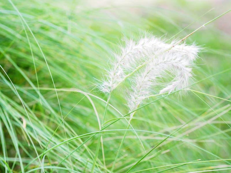 Hierba suave mullida de la flor con las hojas de la cuchilla foto de archivo