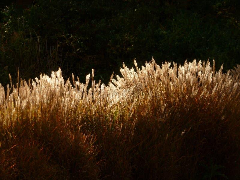 Hierba Sunlit Seedheads imagen de archivo libre de regalías