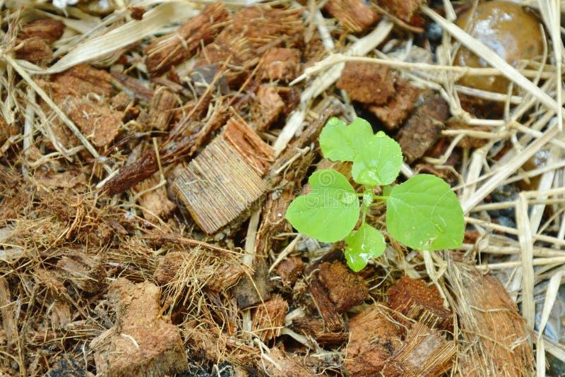 Hierba tropical de la hoja de cobre india joven para alimentar y antídoto al crecimiento del gato en la tierra del spathe fotos de archivo