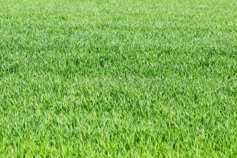 Hierba verde, centeno, campo de trigo, prado, fondo del pasto como spr foto de archivo