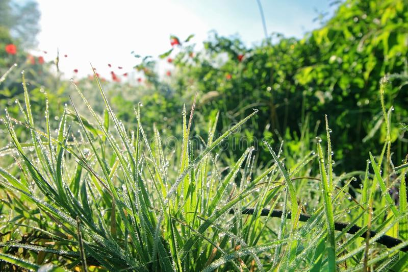 Hierba verde con descensos de rocío fotografía de archivo libre de regalías