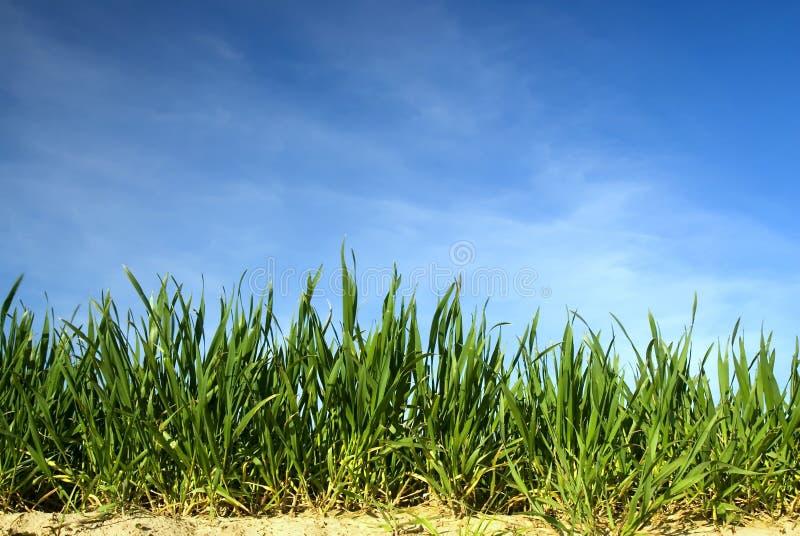 Hierba verde con el cielo azul imagen de archivo libre de regalías