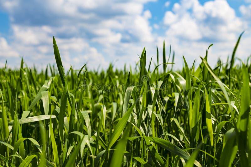 Hierba verde contra el cielo nublado azul imagenes de archivo