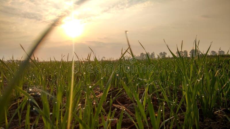 Hierba verde de los ambientes de Natuars con rocío y el cultivo del descenso del agua de mañana de la puesta del sol de la salida foto de archivo