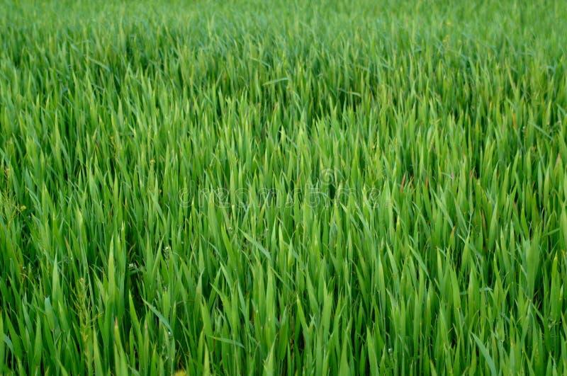 Hierba verde del trigo fotos de archivo