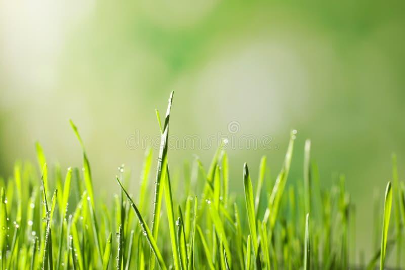Hierba verde del trigo con descensos de rocío en fondo borroso imagen de archivo libre de regalías