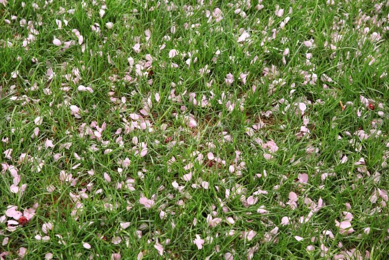 Hierba verde derramada con los pétalos de las flores rosadas de Apple fotografía de archivo libre de regalías