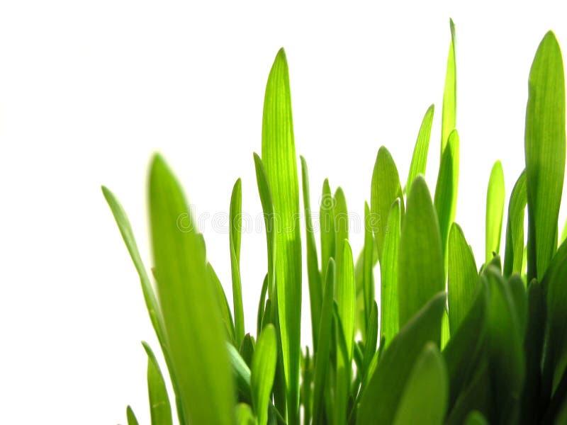 Hierba verde en blanco fotografía de archivo