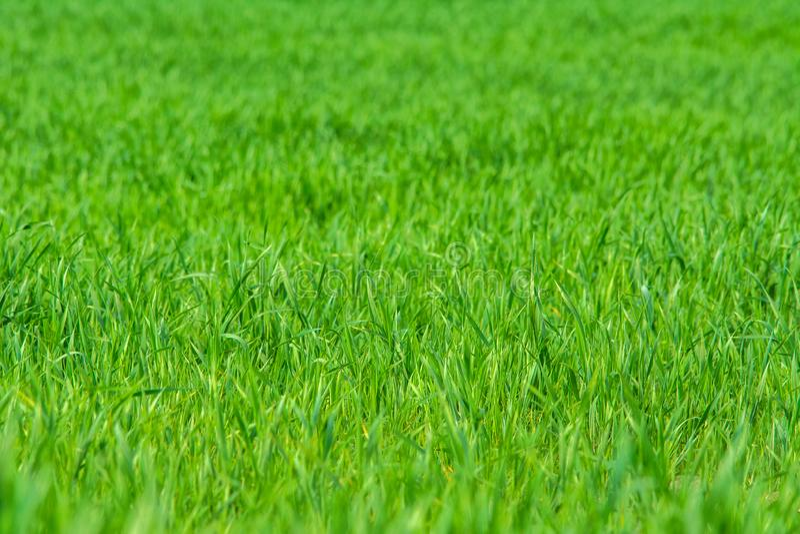 Hierba verde en el campo - fondo imagen de archivo