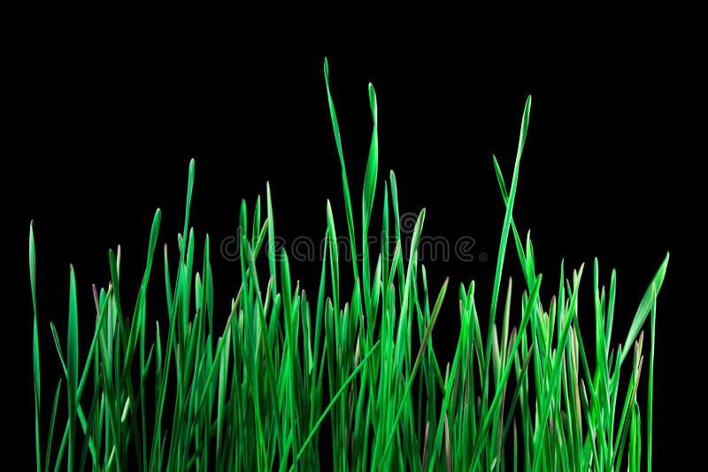 Hierba verde en fondo oscuro foto de archivo libre de regalías