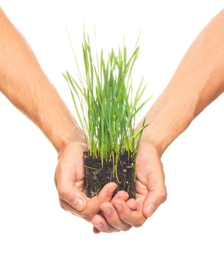 Hierba verde en manos humanas foto de archivo libre de regalías