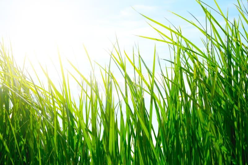 Hierba verde en prado de oro fotos de archivo