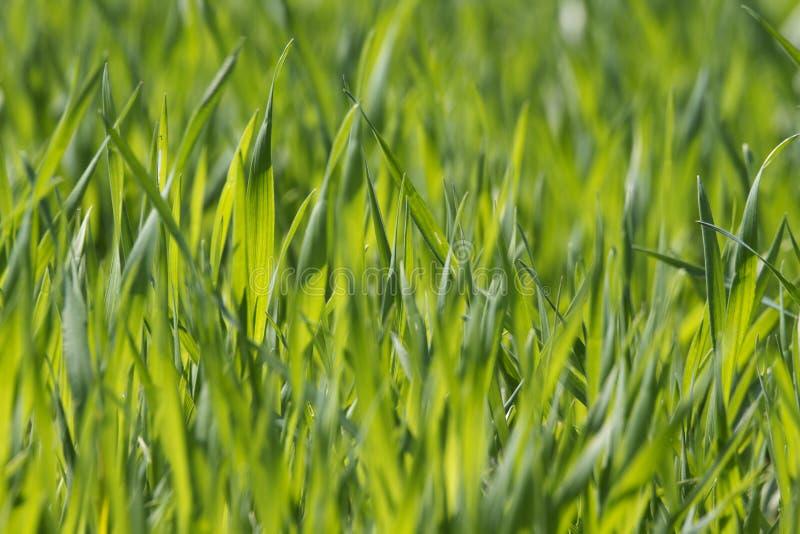 Hierba verde enorme imagen de archivo