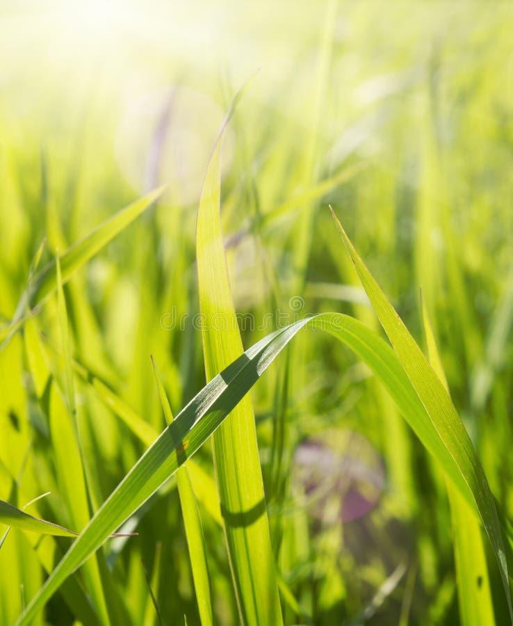 Hierba verde enorme en día asoleado imagen de archivo libre de regalías