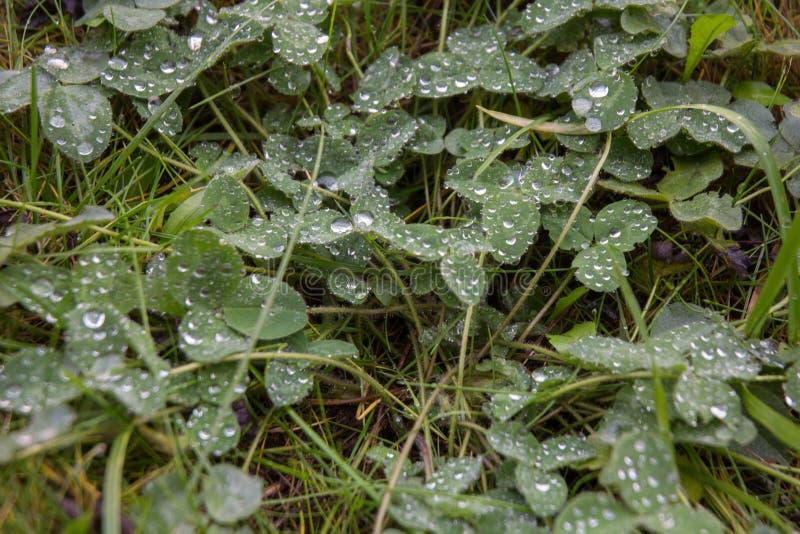 Hierba verde fresca con descensos del agua foto de archivo libre de regalías