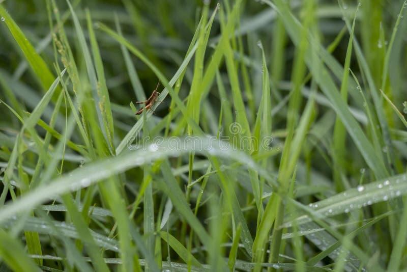 Hierba verde fresca con el saltamontes en la hoja foto de archivo