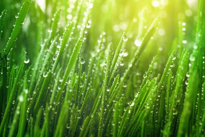 hierba verde fresca con gotas de rocío en las luces soleadas de la mañana Hermoso paisaje natural con gotitas de agua fotos de archivo