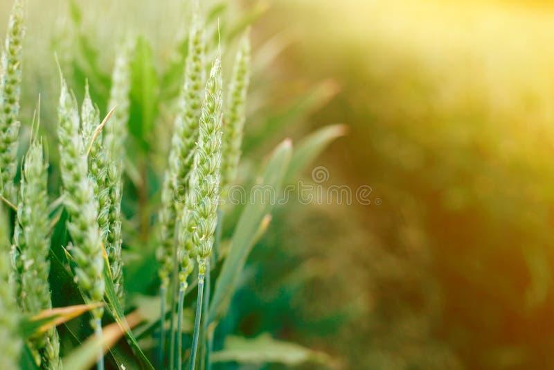 Hierba verde fresca en el campo del verano en el fondo caliente de la luz del sol foto de archivo libre de regalías