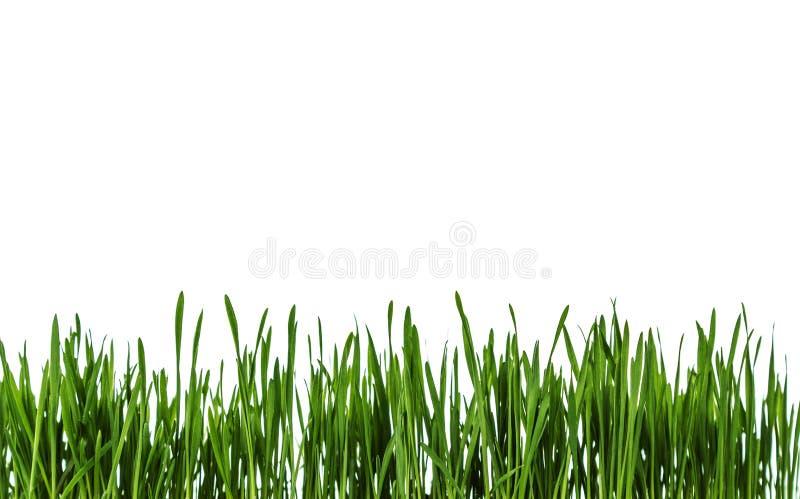 Hierba verde fresca en el fondo blanco foto de archivo