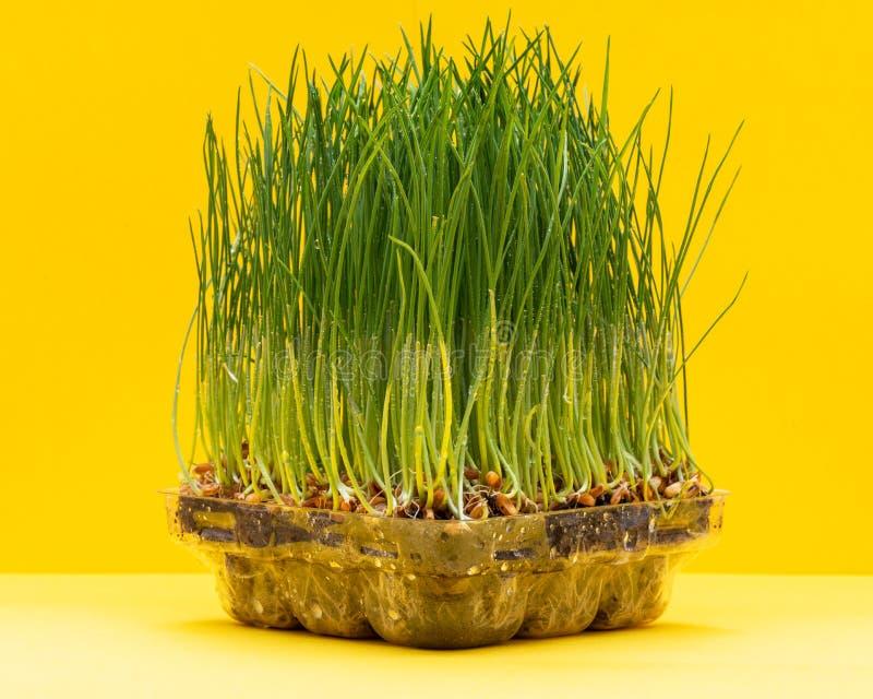 Hierba verde fresca orgánica del trigo en bandeja del brote en fondo amarillo brillante Hierba del animal dom?stico, hierba del g fotos de archivo libres de regalías