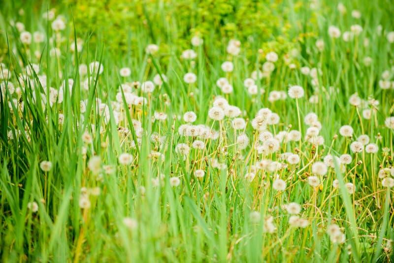 Hierba verde fresca y flores blancas ligeras del diente de león Fondo natural Concepto de la primavera Muchas flores blandas aden foto de archivo