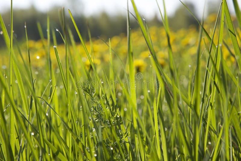 Hierba verde larga, rocío de la mañana y dientes de león en el fondo con luz del sol foto de archivo libre de regalías