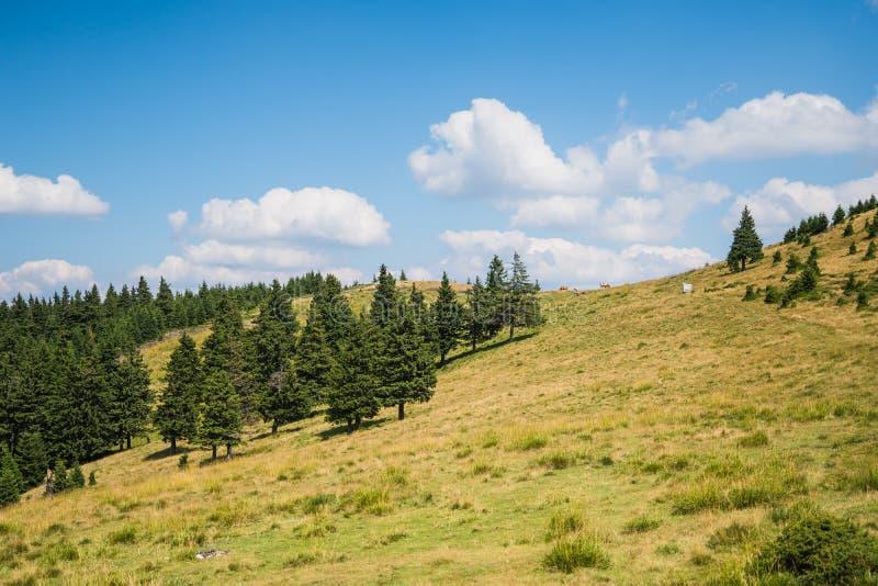 Hierba verde y árboles spruce, paisaje en un día de verano soleado, cielo azul del prado imagen de archivo