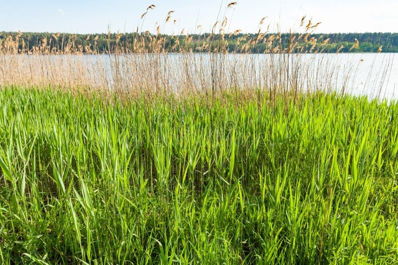 Hierba verde y cañas en riverbank imagen de archivo libre de regalías
