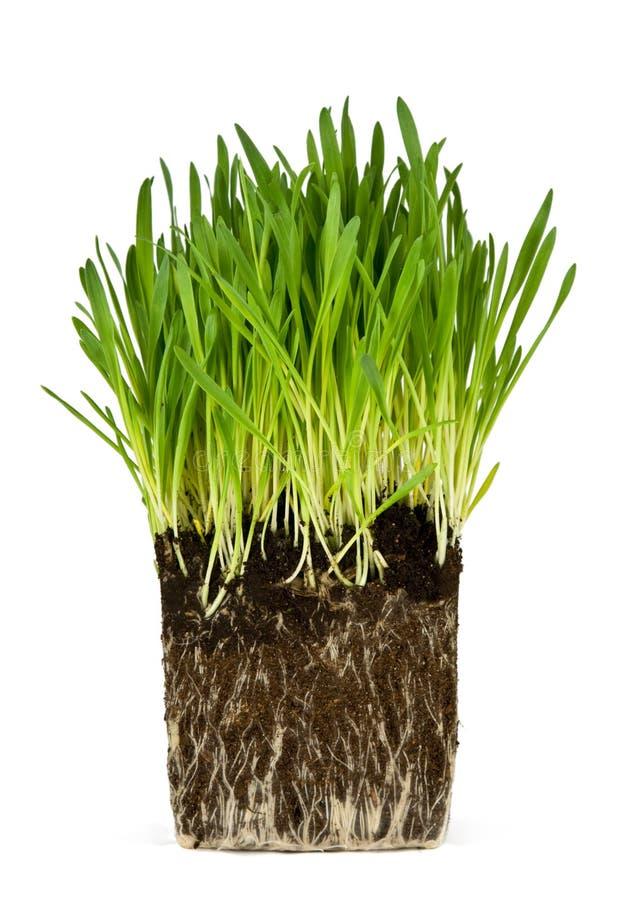 Hierba verde y raíces fotografía de archivo