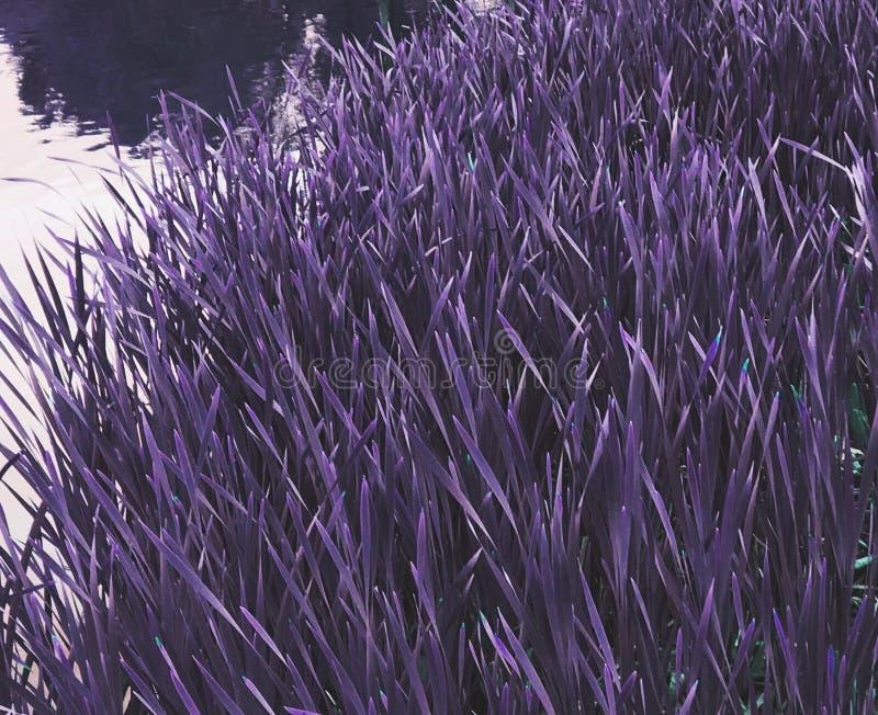 Hierba violeta fotografía de archivo