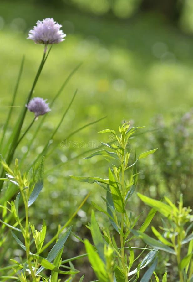 Hierbas aromáticas frescas en jardín foto de archivo libre de regalías