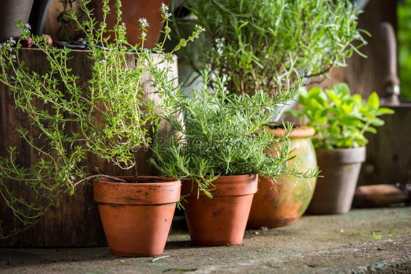 Hierbas aromáticas y sanas en jardín foto de archivo