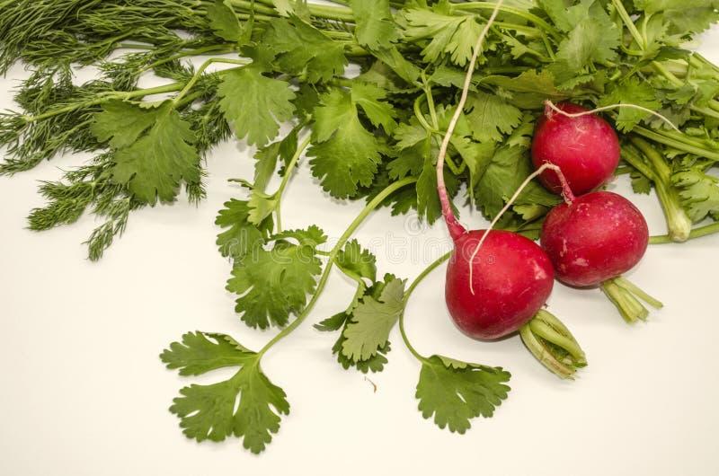 Hierbas comestibles de puntillas fragantes del eneldo y del cilantro con los rábanos rojos redondos en un fondo blanco imágenes de archivo libres de regalías