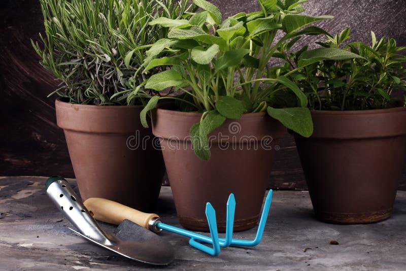 Hierbas de cosecha propia y aromáticas en potes de arcilla viejos Sistema de hierbas culinarias Crecimiento verde sabio, orégano  fotografía de archivo
