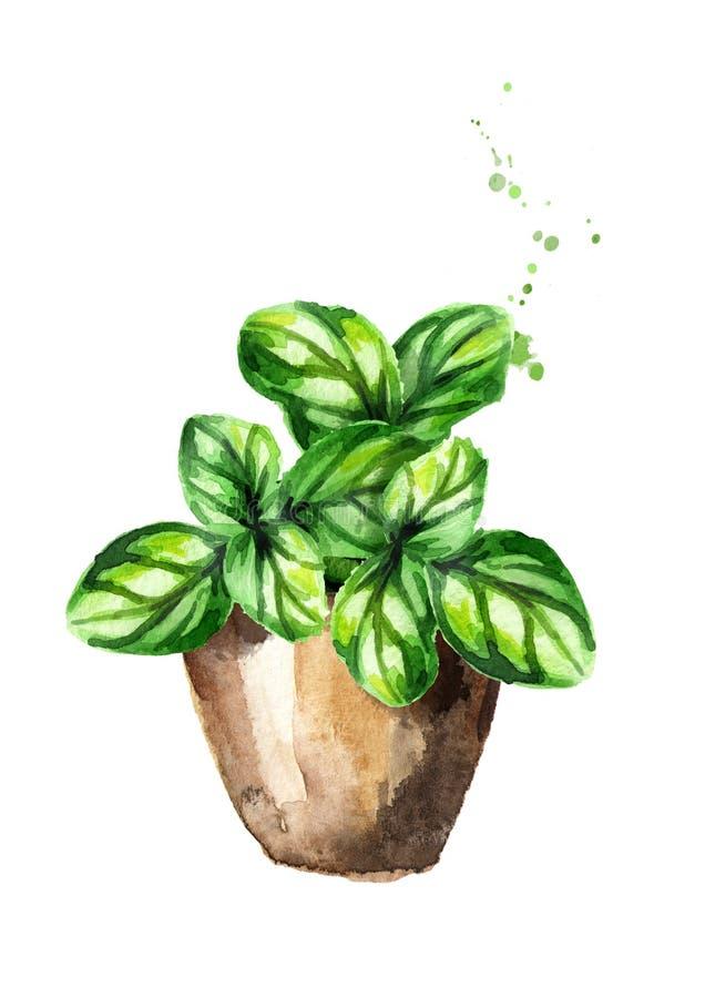 Hierbas de la cocina en potes Basil Plant Ejemplo dibujado mano de la acuarela, aislado en el fondo blanco ilustración del vector