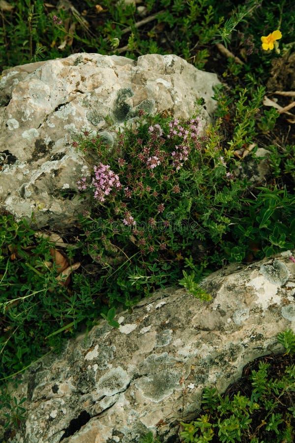Hierbas de la montaña para el té imagenes de archivo