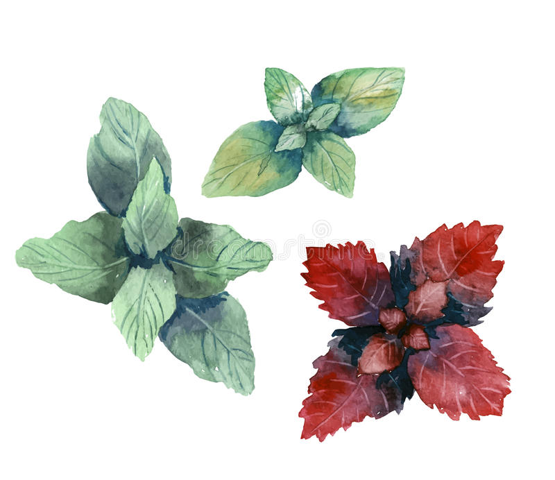 Hierbas del color de agua Menta y albahaca Vector stock de ilustración