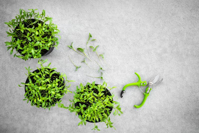 Hierbas en conserva del cilantro y podadoras del jard?n fotografía de archivo